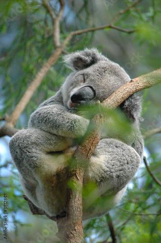 Fotobehang Koala Koala 2