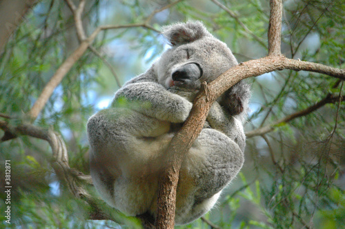 Fotobehang Koala Koala 3