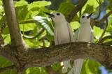 Fairy terns, Gygis alba, Seychelles poster