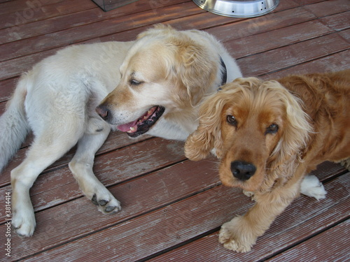 2 Hunde - Golden Retriever und Cocker Spaniel
