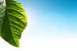 Fresh green spring leaf against blue sky