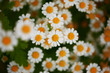 Flower bed of daisies. Focus on flower in the center