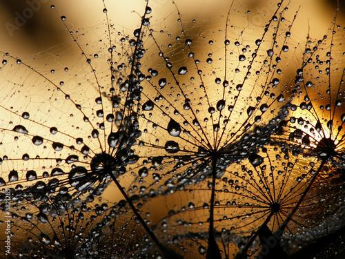 Foto op Plexiglas Paardebloemen en water wet dandelion seed