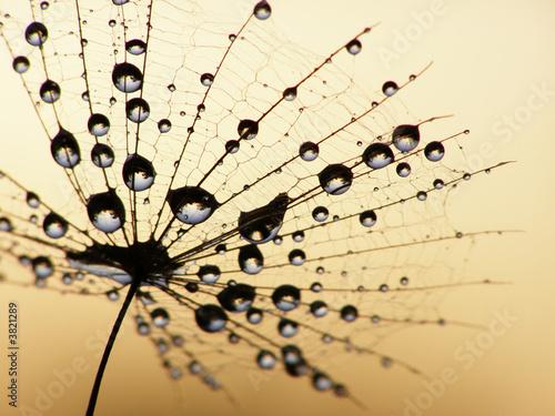 Zdjęcia na płótnie, fototapety na wymiar, obrazy na ścianę : dandelion seed