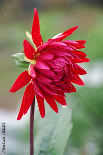 Rain drops on a red dahlia flower