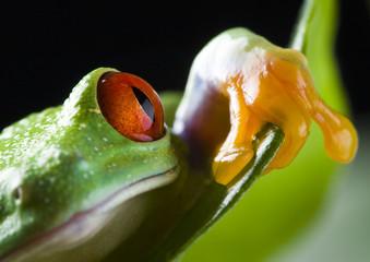 red eyed frog on green leaf
