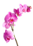 Fototapety  pink flowers orchid on a white background