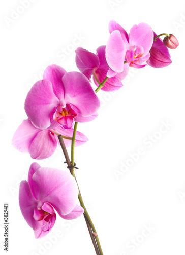 Fotobehang Lente pink flowers orchid on a white background