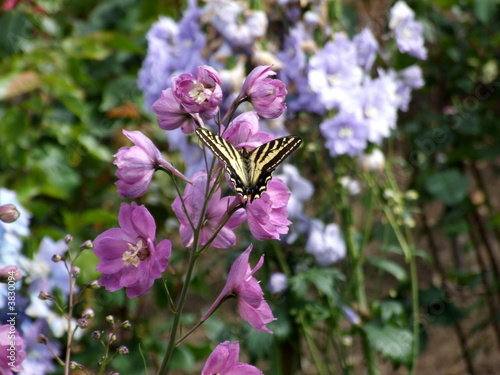 Swallowtail Butterfly on flower