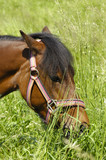 Pony is eating green grass poster