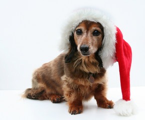 Longhair dachshund isolated, wearing a Santa hat.