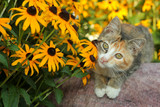 calico kitty and Black-Eyed Susans (Rudbeckia) poster
