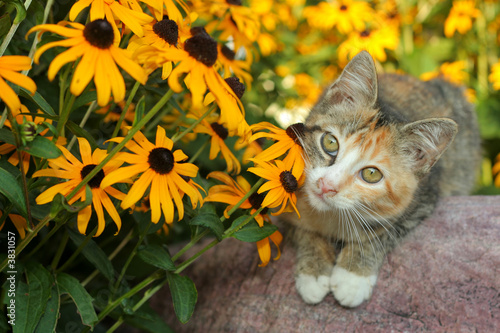 calico kitty and Black-Eyed Susans (Rudbeckia)