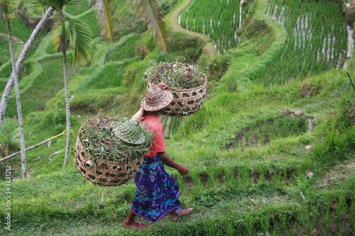 Foto op Plexiglas Indonesië Bali Padi Field