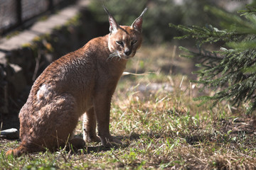 Young caracal sitting in the zoo cage