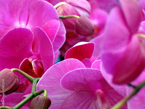 Purple Orchids (potted plants) in a greenery