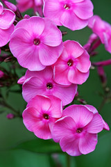 Blossoming pink phlox in the summer, in a garden