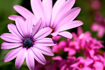 fleurs gerbera pétales rosée nature