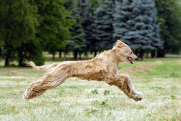 Pure breed afghan hound runing