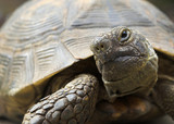Spur-Thighed Tortoise - Turtle poster