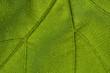 macro shot of a vine leaf