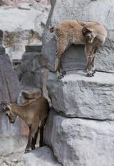 Capra ibex kids