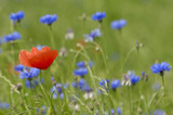 Red and blue flowers. Only the red poppy is in focus. poster