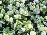 clover covered in ice and frost