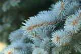 Colarado Blue Spruce is a conifer with lblue grey foliage poster