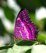 roleta: pink butterfly on leaf