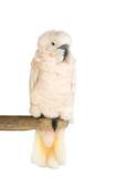 Sulphur-crested cockatoo (native of Australia), poster