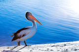 A pelican walks along the beach next to sparkling blue water poster
