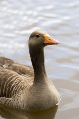 A  western grey lag goose single on the water