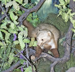 The wild animal - a marten (it is photographed in bondage)