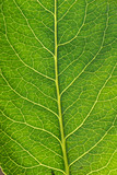 A macro of the veins in a tree leaf, great background poster