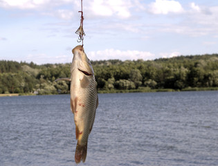The Catch on fishing. Have Caughted the first carp. On rest