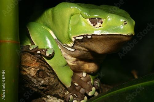 Papiers peints Grenouille Giant Waxy Monkey Frog