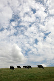 Herd of cows grazing against a blue & cloudy sky poster