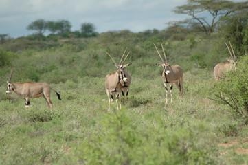 Kenya, Samburu - Oryx
