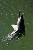 ein Hai hält seine Beute fest Australien_07_1536 poster