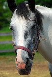 Portrait of a beautiful horse at summer ranch poster