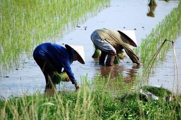 Travail dans une rizière (Vietnam)