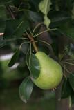 Unripe Pear poster