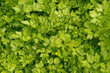 Texture of green parsley, petroselinum crispum