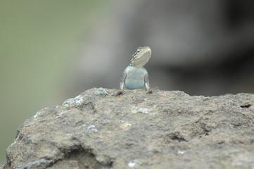Kenya, Nakuru - Lizard