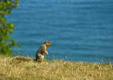 An alert squirrel looking out over a lake poster