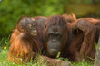 Leinwanddruck Bild mother orangutan with her cute baby