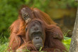 Leinwandbild Motiv mother orangutan with her cute baby