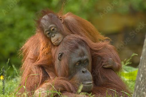 Leinwanddruck Bild mother orangutan with her cute baby