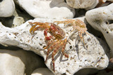 Hawaiian Crabs Baked by Sun on Kona Island Volcanic Rock poster